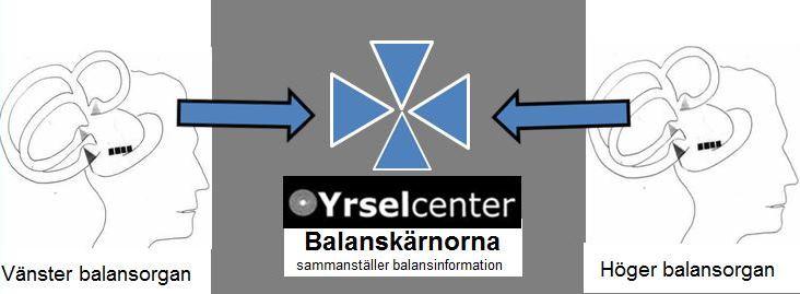 Balansinformationen sammanställs i hjärnans stam